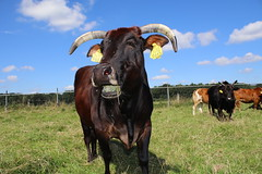 Zebu Iris (excellentzebu1050) Tags: miniaturezebu zebucattle zebu animal africancattle animals cattle cow xzebusaugust2016lama farm outdoor field coth5