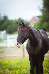 Quiet Rivers (ktruluck) Tags: horse freedomhillhorserescue rescue draft tennesseewalker black field portrait maryland rural country southern dunkirk owings calvertcounty animals paint pinto outdoors