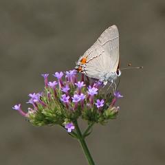 Gray hairstreak in tiny purple (Vicki's Nature) Tags: grayhairstreak gray butterfly purple tallverbena flowers blossoms yard georgia august vickisnature canon s5 1912 returnnc