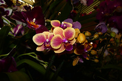 """photographed at """"orchids in the park"""", orchid 7-16 (nolehace) Tags: orchid 716 phalaenopsis orchidsinthepark show sale park orchids 2016 summer nolehace sanfranciscoorchidsociety sanfrancisco flower plant bloom fz1000"""