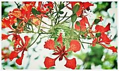 ... (Marysol*) Tags: flower flor naturaleza yucatan mexico flamboyan
