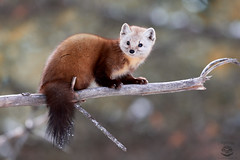 Rascal (Megan Lorenz) Tags: pinemarten marten americanmarten weasel nature wild wildlife wildanimals animalsinthewild animal mammal algonquin algonquinprovincialpark ontario canada mlorenz meganlorenz
