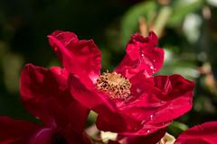 Einfache Rosenblte mit Regentropfen - Simple rose blossom with rain drops (riesebusch) Tags: berlin garten marzahn