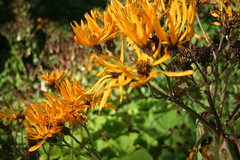 IMG_4599 (ianharrywebb) Tags: edinburgh iansdigitalphotos royalbotanicgardens flowers flower