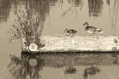 Tentative steps (Jodi Newell) Tags: birds canon chick jodinewell jodisjourneys jodisjourneysphotosgmailcom log mallard marsh nature pond sanjoaquin water wildlife