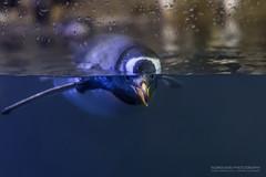 Point of view (Normann Photography) Tags: aquariummarinepark loceanogrfic oceanarium oceanograficvalencia pov spain valencia antartic penguin pondering waterline vannskorpe animal