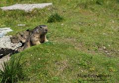 Une Marmotte - Rocher de Naye - août 2016 (Num-Eric) Tags: marmotte rocherdenaye rochersdenaye dentedejaman villarsbretaye
