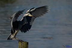 Grey Heron (Juvenile) (Poll dancing). (spw6156 - Over 6,980,000 Views) Tags: grey heron juvenile poll dancing iso 640 copyright steve waterhouse summerwatch