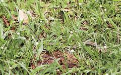 IMG_0396 (trevor.patt) Tags: palauubin singapore island racer snake