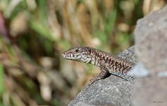 hinter dem Fels (svensonkra26) Tags: mauereidechse outdoor steinbruch reptil rheinsiegkreis eidechse nrw naturschutz