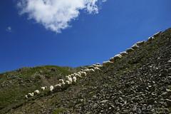 Il fronte avanza! (EmozionInUnClick - l'Avventuriero's photos) Tags: animali gregge pecore