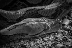 Python #0723 (svenpetersen1965) Tags: kohsamui python crocodilefarm snake zoo kosamui changwatsuratthani thailand th