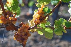 DSC00886-4800 (westonde) Tags: winery vineyard rokkor minolta grapes oregon forestgrove