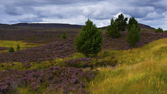 the joys of late summer and a heather in full bloom (lunaryuna (back and playing Sisyphus in catching u) Tags: scotland cairngorms northerncairngorms nationalpark landscape glen moor heather latesummer endofsummer season seasonalwonders heatherinbloom colours weather weathermood sky clouds cloudscape trees nature lunaryuna