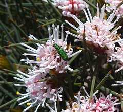 Jewel Beetle (zad53) Tags: wildflower westernaustralia jewelbeetle beetle insect green