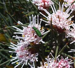 Jewel Beetle (zad53) Tags: wildflower westernaustralia jewelbeetle beetle insect green