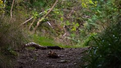 exploring DOF near Tigh na Beithe-2 (grahamrobb888) Tags: nikond800 afnikkor80200mm128ed pathway footpath dof bokeh birnamwood perthshire scotland forest