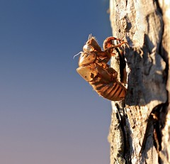 Shell of a Former Self (Slow Turning) Tags: cicada exoskeleton shell moult molt insect bug tree trunk pine backlit summer southernontario