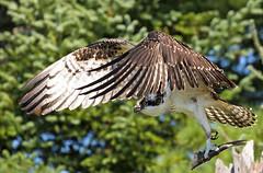 Osprey story 3:  It is time to go Bye (Mala Gosia) Tags: kajtek malagosia sep102016 eaglelake mikisewprovincialpark ontario canada outdoor canoneos6d landscape water lake trees osprey bird nest