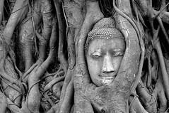 Buddha in the roots -Wat Maha That- (Olivier Simard Photographie) Tags: watmahathat ayutthaya thalande asie pneu thailand asia effigy bouddhisme bouddha sukhothai temple chedi stupa pagoda voyage travel nirvna siddhrthagautama buddha buddhahood wat unescoworldheritagesite mditation sukhothaikingdom royaumedesukhothai ruines  ayutthayakingdom noiretblanc blackandwhite bw nb racines roots highlight thaibuddhahead monastredelagranderelique figuier ayutthayahistoricalpark theheadofbuddhainwatmahathat