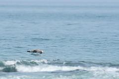 Giant Southern Petrel (Erik Schepers) Tags: patagonia rio negro argentina petrel bird giant sea waves skimming blue