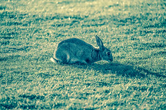 Resting Rabbit (Nomis.) Tags: canon eos 700d t5i rebel canon700d canoneos700d rebelt5i canonrebelt5i rabbit grass rest sit wales shellisland lightroom sk201509170644editlr sk201509170644 green animal nature hare still bunny field dunes outdoor