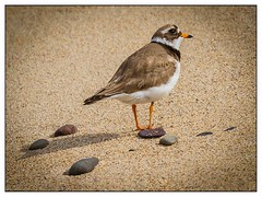 Ring Necked Plover (david.ireland) Tags: nature 2016 farnislands ringneckedplover