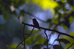 Silhouette of a Hummingbird (nareikc) Tags: bird avian nature humming silhouette calming shadows shadow ifttt nikon nikond5200 d5200 bokeh dof depth field tree leaves branch feeder resting rest canada neustadt ontario tamron70300mmf456 tamron70300mm 70 300 f456 outdoors