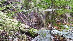 video of Whites Thrush at Mt Field near Horseshoe falls (jeaniephelan) Tags: whitesthrush thrush bird tasmanianbird australianbird
