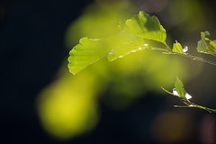 the leaves are still green (Sabinche) Tags: leaf beech green bokeh hbw serene nature olympus sabinche
