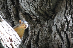 Squirrels in Ann Arbor at the University of Michigan (September 19, 2016) (cseeman) Tags: squirrels annarbor michigan animal campus universityofmichigan umsquirrels09192016 summer eating peanut septemberumsquirrel cavity cavitynest squirrelcavitynest knothole gobluesquirrels umsquirrel