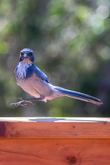 IMG_6321 (armadil) Tags: backyard bird birds jay jays scrubjay scrubjays