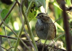 White-throated Sparrow - https://birdteach.blogspot.com/ (Kelly Preheim) Tags: whitethroated sparrow