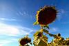 Sad sunflower (paulo_1970) Tags: paulo1970 canon7d canon canon1022mmf3545 girassol sunflower