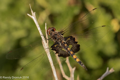 Late Season Black Saddlebags (rdroniuk) Tags: insects dragonflies odonata odonates blacksaddlebags blacksaddlebagsdragonfly tramealacerata insectes libellules latraméalacérée dragonfliesofontario blacksaddlebagsfemale