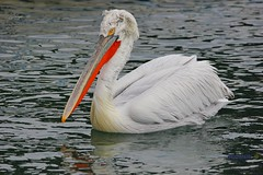 One day alone on the water (George @) Tags: george papaki eyes greek greece   pelecanuscrispus  pelekanos pelecanus pelican pelekan bird golden resting proud lonely look nature water   lake kerkini reflection colorful like mirror wild wetland  marine macedoniagreece makedonia timeless macedonian