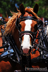 Belgian draft horse in harness (brightstrangethings) Tags: horse driving belgian harness equestrian equine workhorse drafthorse heavyhorse teamdriving