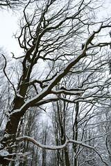 DSC_0263 (rik trikster) Tags: trees winter snow tree woodland nikon yorkshire leeds eccupreservoir d3100 nikond3100