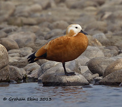 Ruddy Shelduck, Tadorna ferruginea,  adult, female, (Graham Ekins) Tags: india female adult wildlife assam ruddyshelduck tadornaferruginea isaf tezpur canon400mmf4 namerinationalpark wintervisitor canon1dmkiv grahamekins ah9k3661
