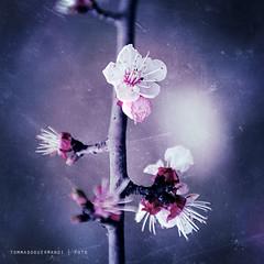 Tutti fioriscono in primavera (tg   photographer) Tags: life flowers flower macro cute texture primavera nature vintage born spring violet natura newborn fiori fiore viola nascita vita nikond700