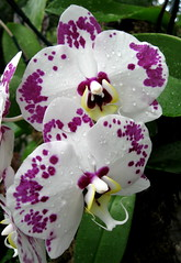 """Orchids Galore"" (Puzzler4879) Tags: orchids ngc pointshoot nybg canonpowershot whiteflowers canondigital whiteorchids canonaseries canonphotography canonpointshoot nybgorchidshow a580 orchidshows canona580 canonpowershota580 powershota580 amazingdetails addictedtoflower naturescarousel naturewithallitswonders mygearandme goldamazingdetails naturespotofgoldlevel1 photographyforrecreation level1photographyforrecreation niceasitgets~level1"