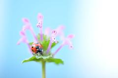 Walkin' Around (*Sakura*) Tags: pink blue red flower macro nature japan tokyo spring purple ladybird ladybug  sakura  earlyspring
