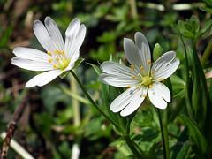 Greater Stitchwort -  Stellaria holostea (Mike Slade.) Tags: greaterstitchwort stellariaholostea slapton devon uk fujifilmfinepixhs10 ©mikeslade