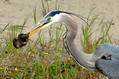 Great Blue Heron - breakfast (Howard_Pulling) Tags: sf sanfrancisco california camera morning blue usa bird heron birds america photo nikon great hunting picture ardea american goldengate prey sa greatblueheron herons herodias ardeaherodias thewonderfulworldofbirds hpulling howardpulling d5100 nikond5100