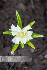 Star | White Hyacinth (Cristian Sabau | Photography) Tags: white flower nature beautiful leaves vertical closeup garden outdoors photography petals purple natural blossom bokeh background nopeople growth dirt stems extremecloseup hyacinth springtime singleobject colorimage plantbulb