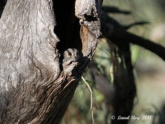 1.06407 Égothèle d'Australie / Aegotheles cristatus cristatus / Australian Owlet-Nightjar (Laval Roy) Tags: birds canon sydney aves oiseaux australie nocturnes australianowletnightjar owletnightjar hayplains caprimulgiformes endémique eos7d égothèledaustralie égothèle aegothélidés aegothelescristatuscristatus ef300mm14lisextender14xiii lavalroy