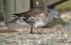 Mandarin duck (Wildlife Online) Tags: female hampshire mandarin mandarinduck newforest aixgalericulata eyeworthpond femalemandarin orientalduck