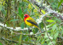 Piranga Cabecirroja, Red-hooded Tanager (Piranga rubriceps) (Francisco Piedrahita) Tags: birds colombia aves redhoodedtanager pirangarubriceps pirangacabecirroja