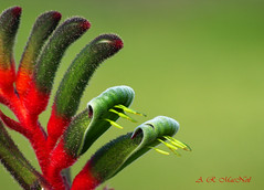 Red and Green Kangaroo Paw 1 - Kula, Maui (Barra1man (busy in garden - catching Up)) Tags: red flower macro green nature hawaii australia olympus maui tropical kula tropicalflower upcountry kangaroopaws anigozanthosmanglesii olympusdigitalcamera mangleskangaroopaw mygearandme photographyforrecreation flowerthequietbeauty mauiagriculturalresearchstation redandgreenkangaroopaws