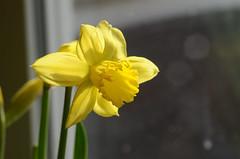 Daffodil (mellting) Tags: plant flower nikon daffodil narcissus lgenheten psklilja sigma70300456 bloggad nikond7000 mellting matsellting